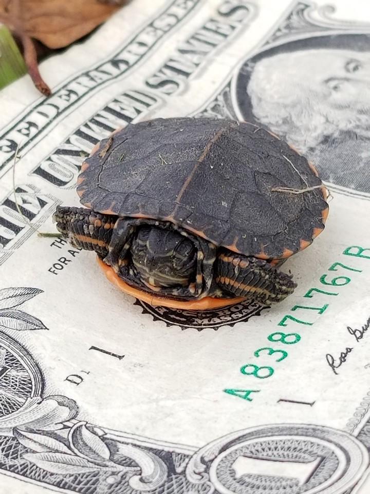 Fire-baby-painted-turtle-dollar-bill.jpg