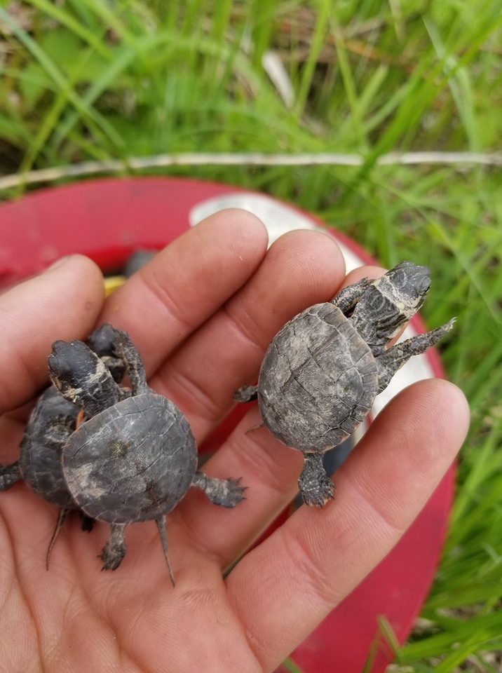Fire-baby-painted-turtles-handful.jpg