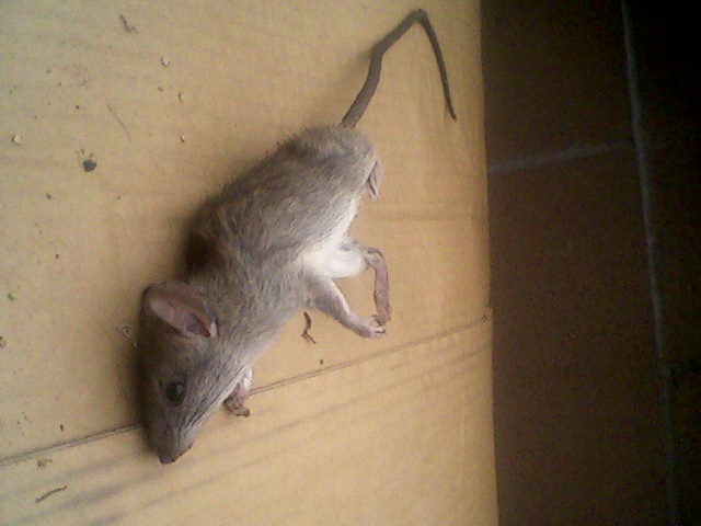 More opossum tails-big-rat.jpg