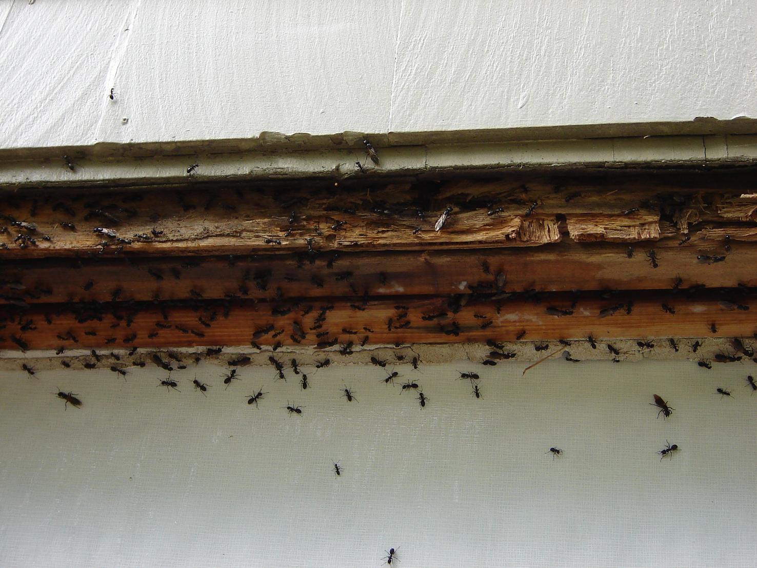 Carpenter Ants Pest Control Contractor Talk