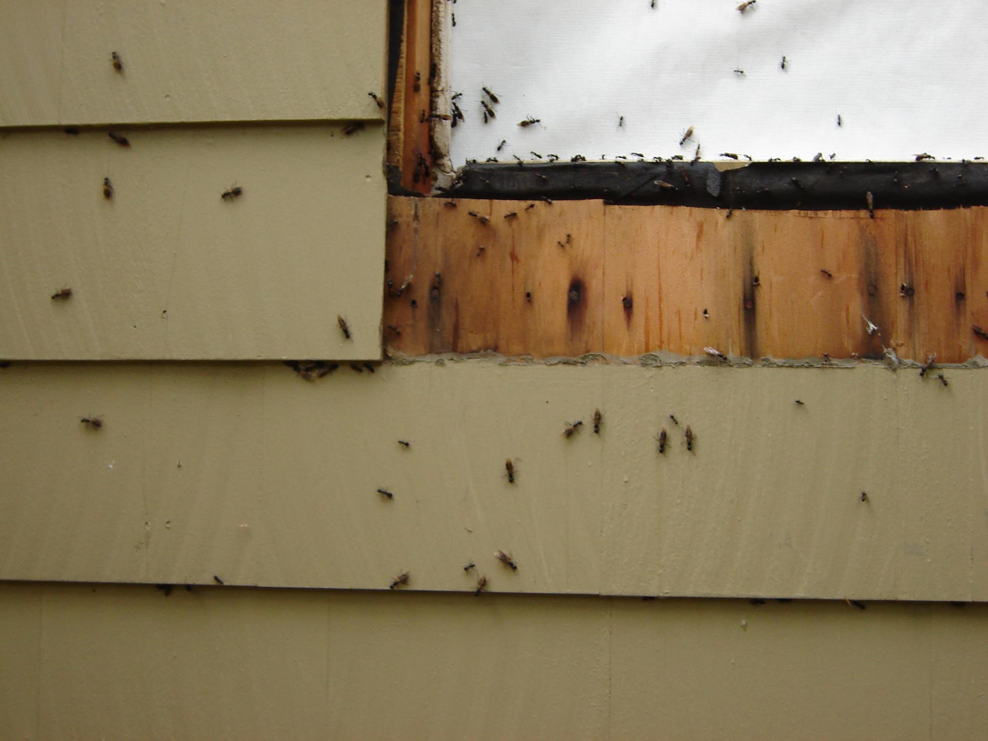 Carpenter Ants-bugs-3-.jpg