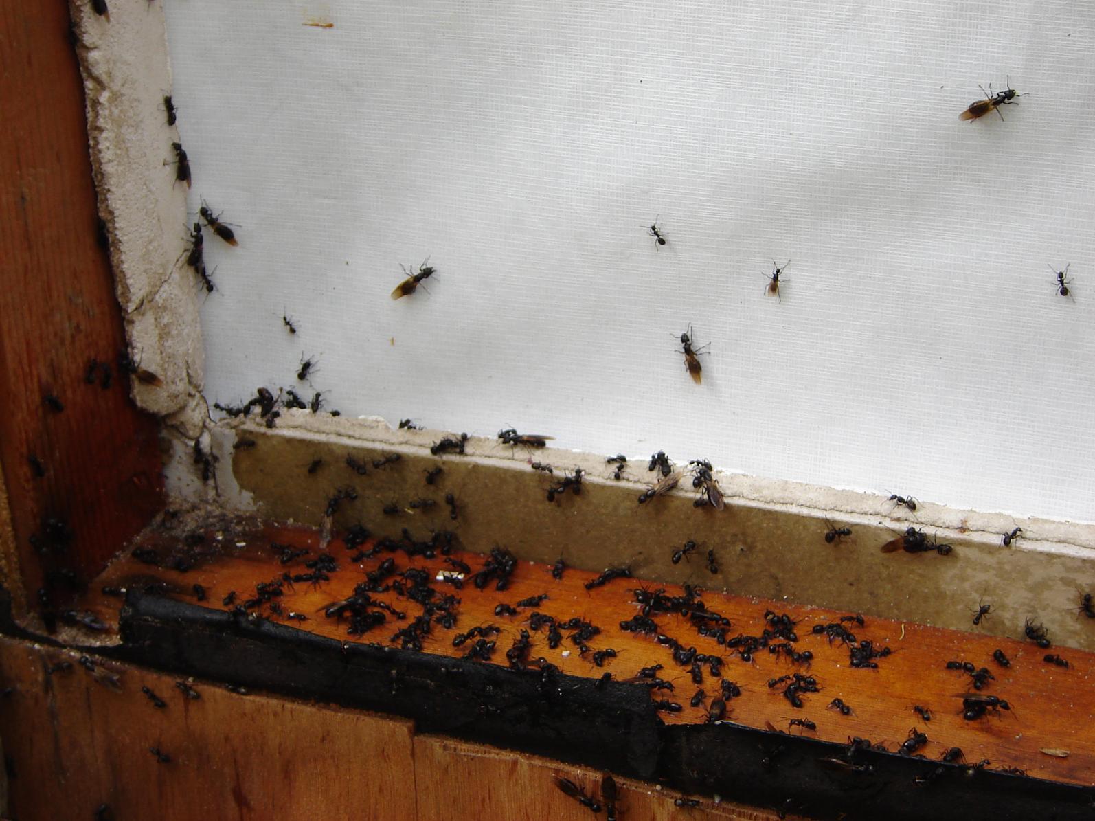 Carpenter Ants-bugs.jpg