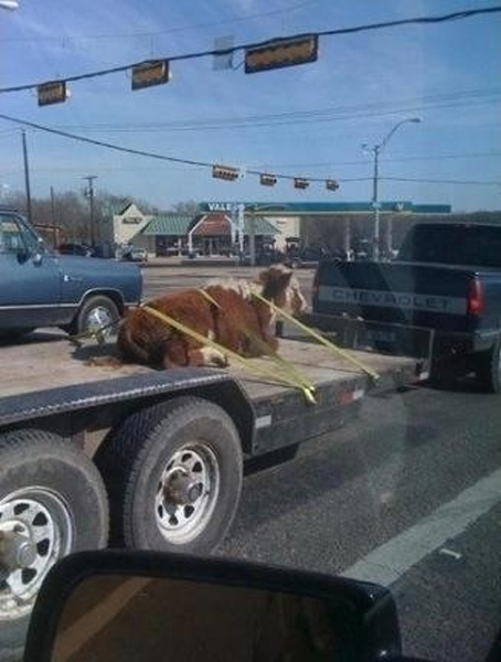 Yeah,  that'll hold it.-cow-straps-every-truck-needs-them.jpg