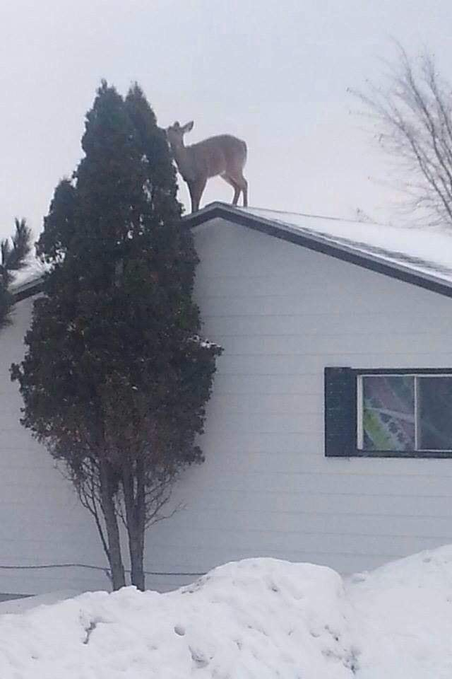 Random Pictures for Fun.-deer-roof-eating-pine-needles.jpg