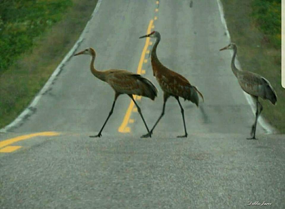 Random Pictures for Fun.-sandhill-cranes-crossing-road-cedar-bay-da-up.jpg
