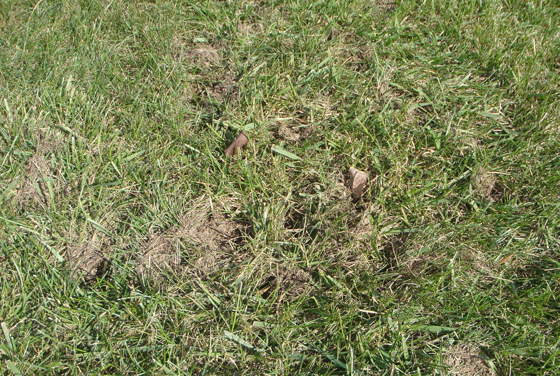 Some Sort of Rodents Making Lawn Holes-yard-holes-10.21.18.jpg